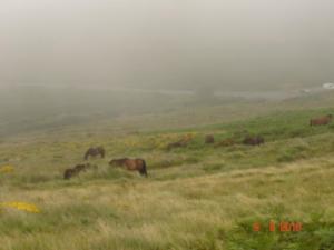 Dartmoors in het wild